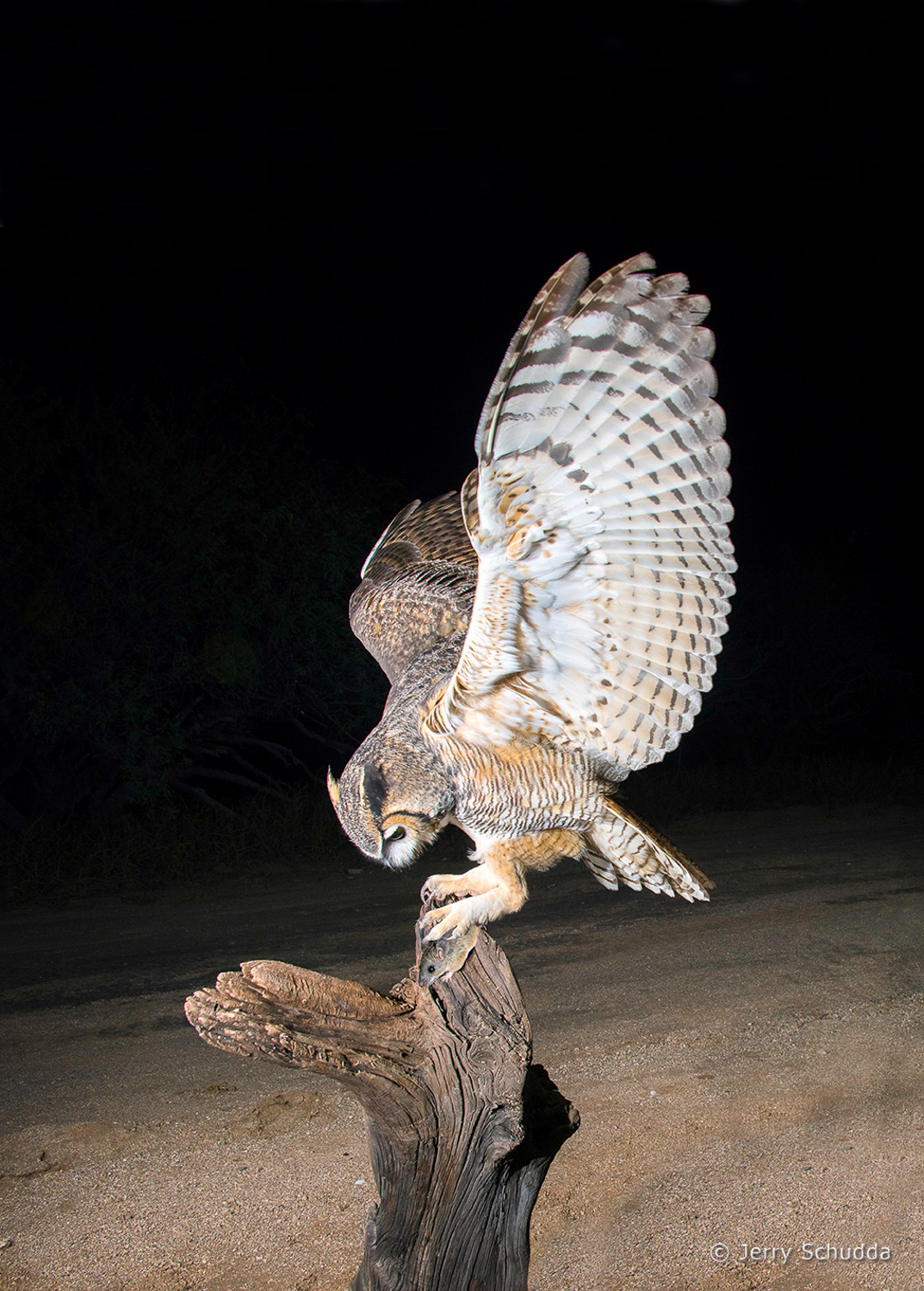 Great Horned Owl 20