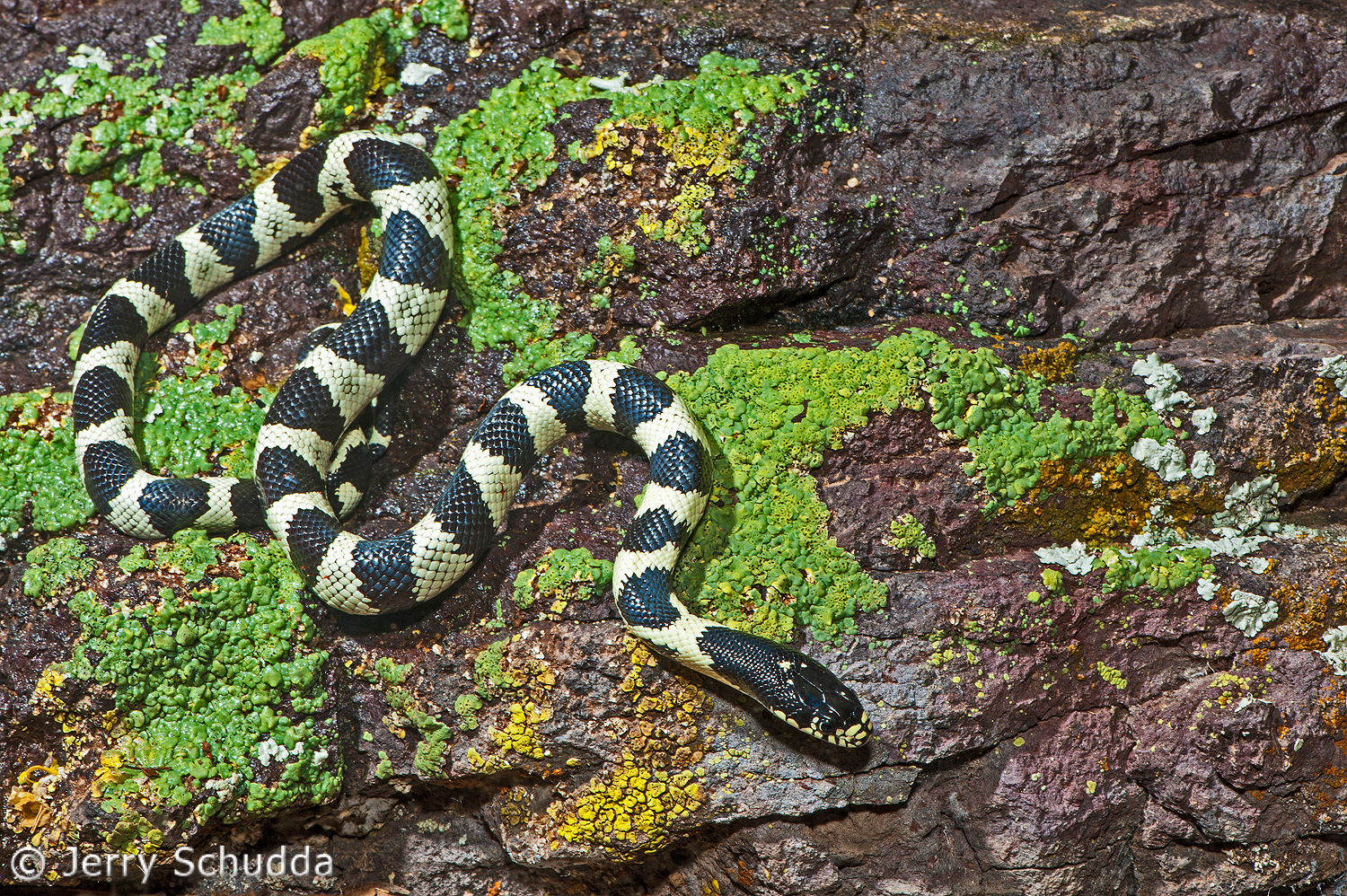 Common Kingsnake 7