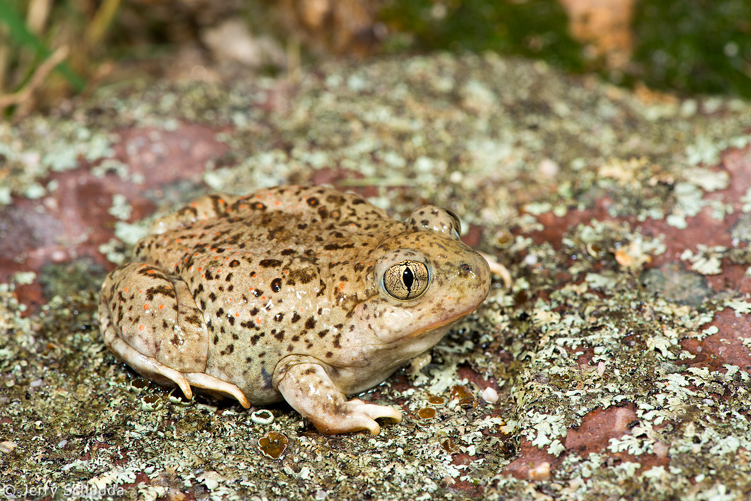 Mexican Spadefoot 1