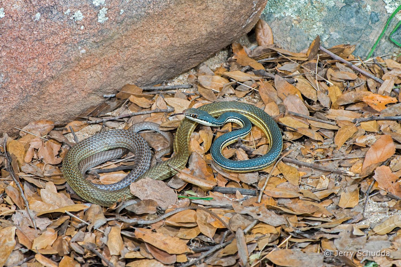 Sonoran Whipsnake 1