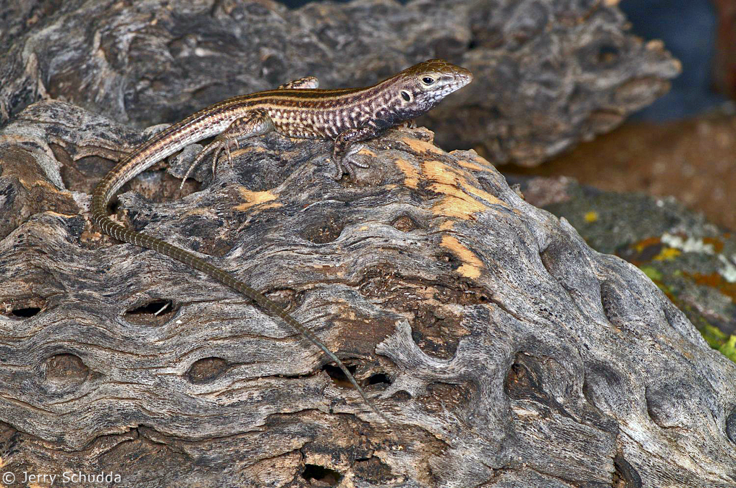 Sonoran Spotted Whiptail 1