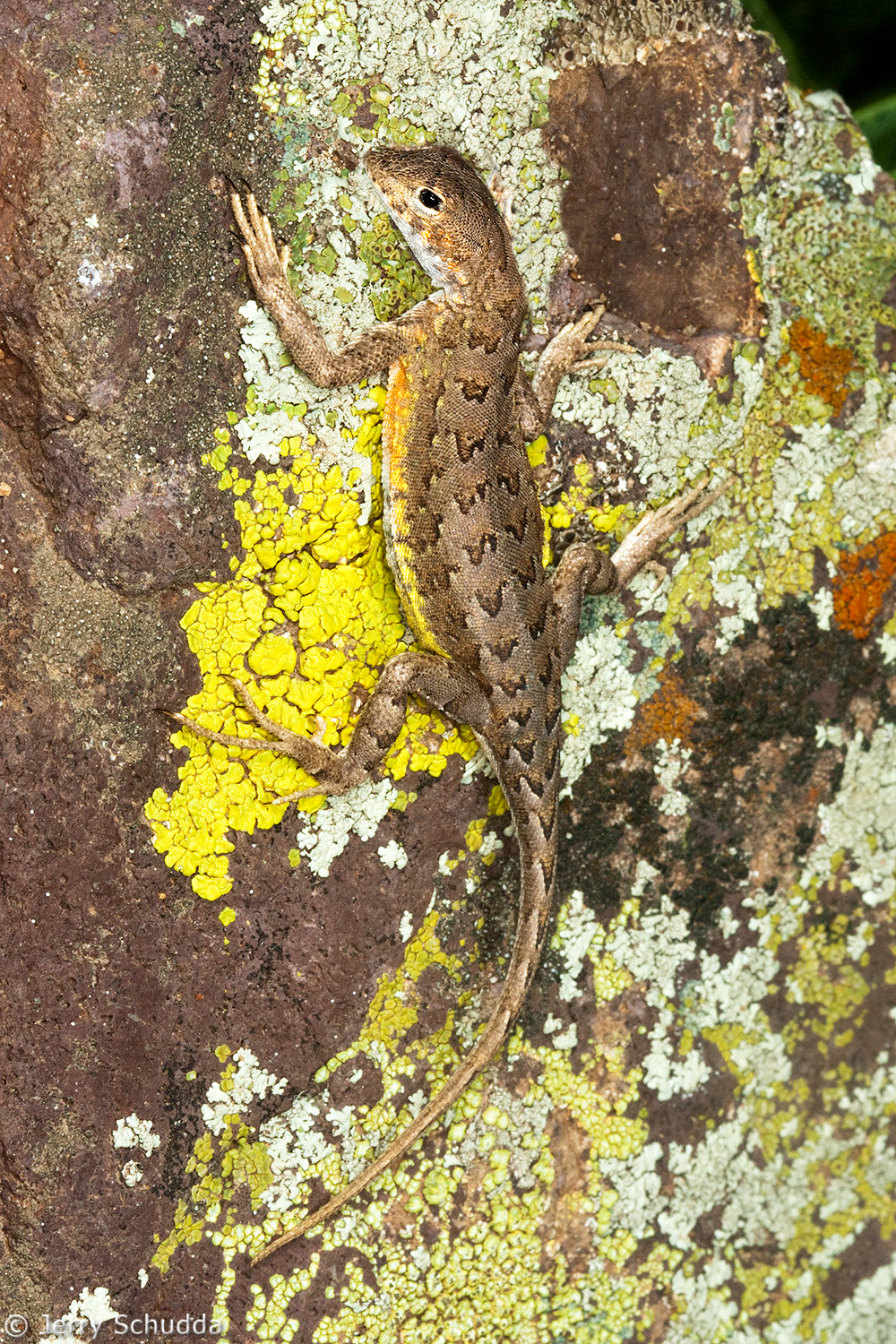 Elegant Earless Lizard 1