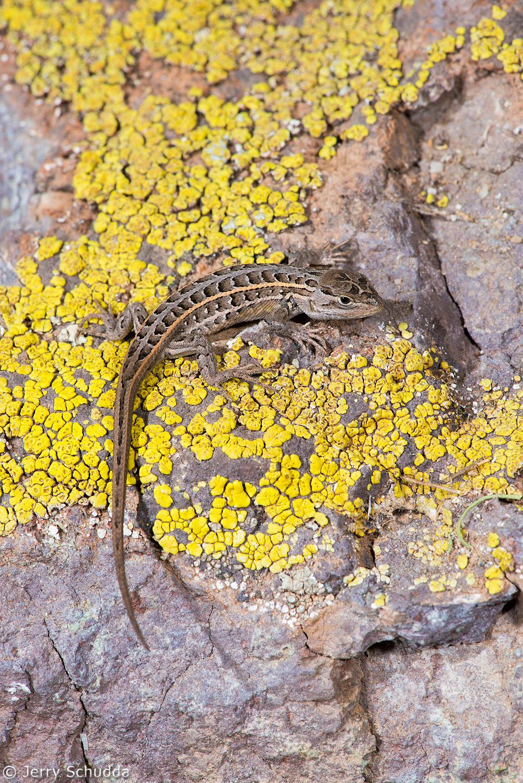 Slevin's Bunchgrass Lizard 3