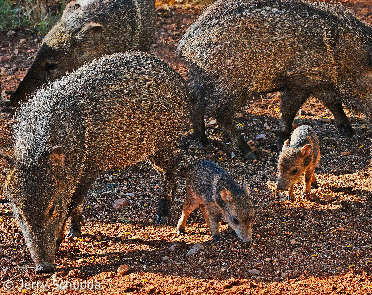 Javalina with new babies 2