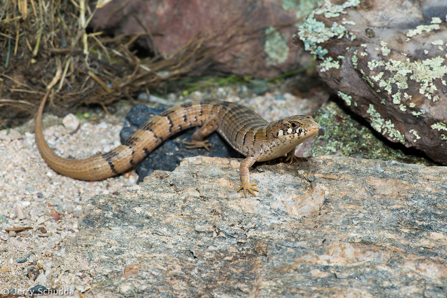 Madrean Alligator Lizard 2