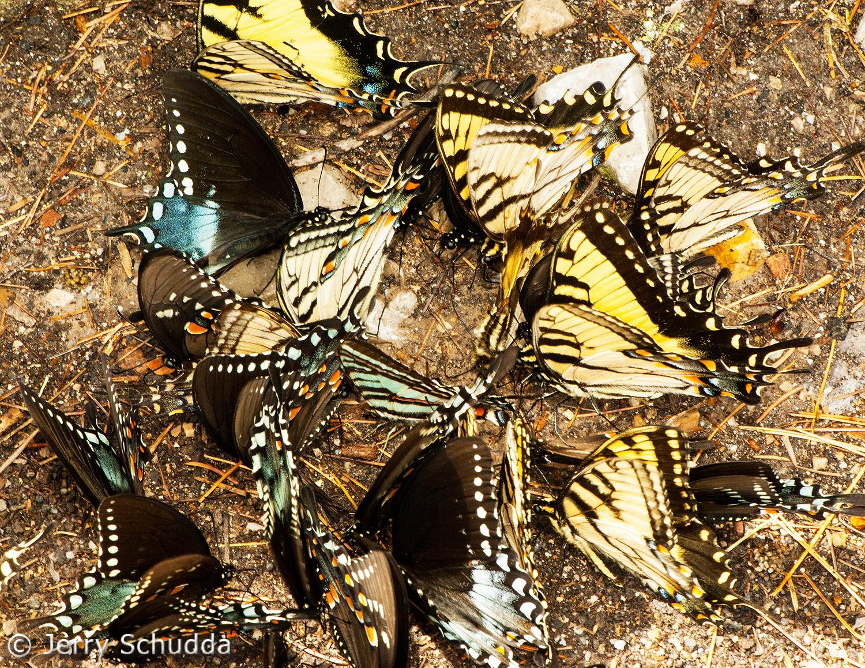 Spicebush & Eastern Tiger Swallowtails 1