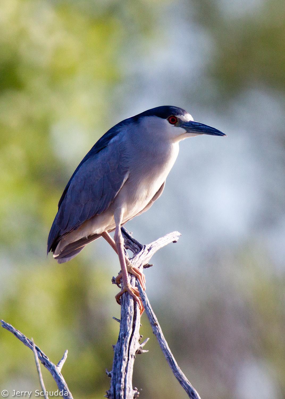 Black-crowned Night Heron 1