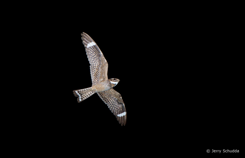 Lesser Nighthawk 1