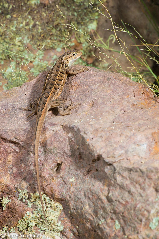 Slevin's Bunchgrass Lizard