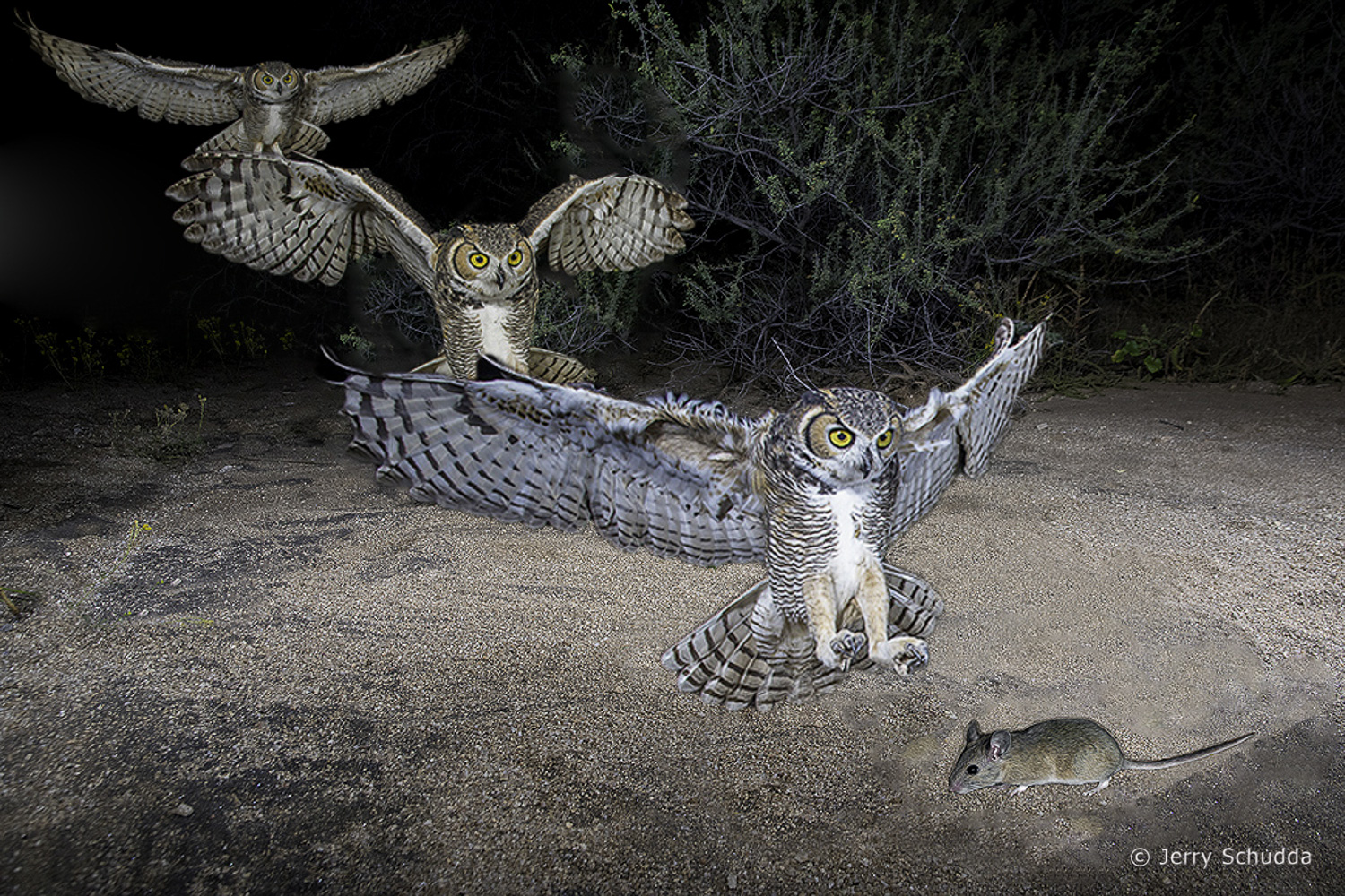 Great Horned Owl attack 6