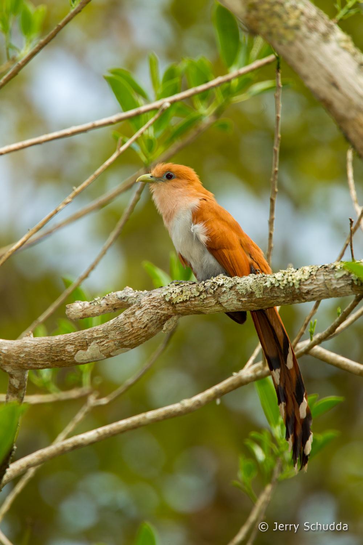Squirrel Cuckoo 1