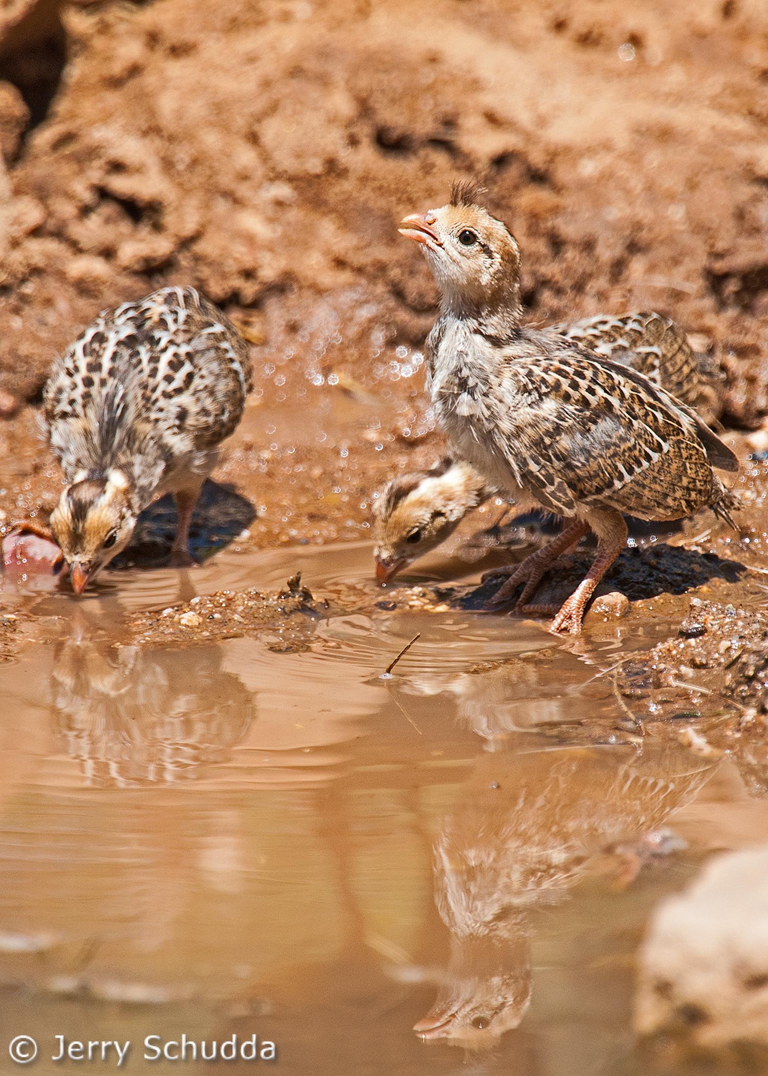 Gambels Quail - chicks 2