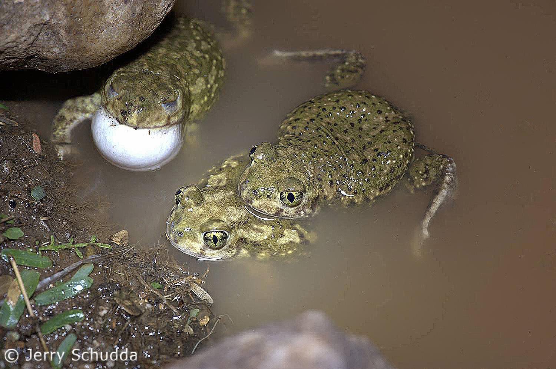 Spadefoot Toads 1