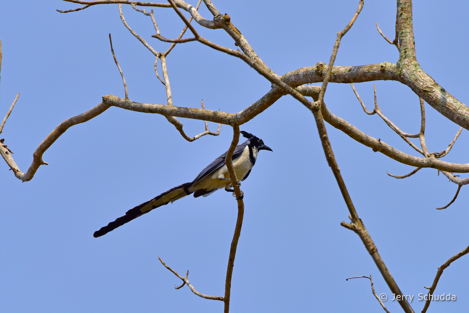 Black-billed Magpie-Jay 1