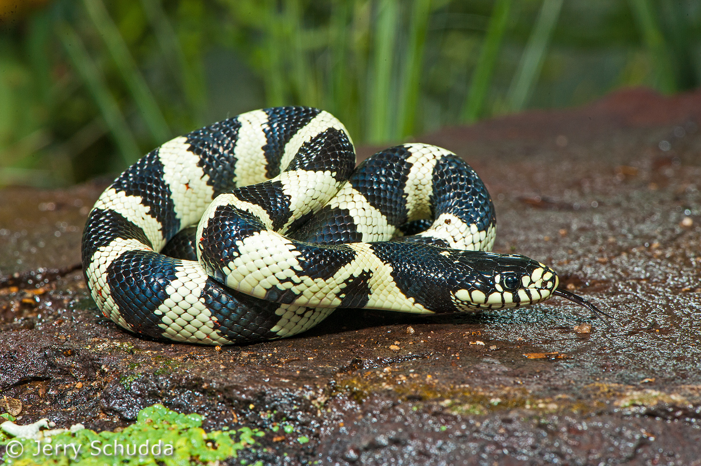 Common Kingsnake 6