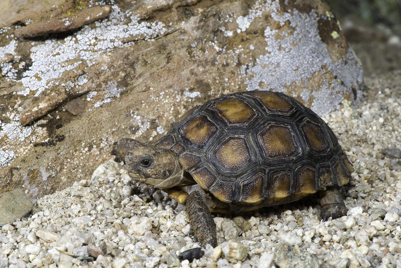 Morafka's Desert Tortoise  1st year 01