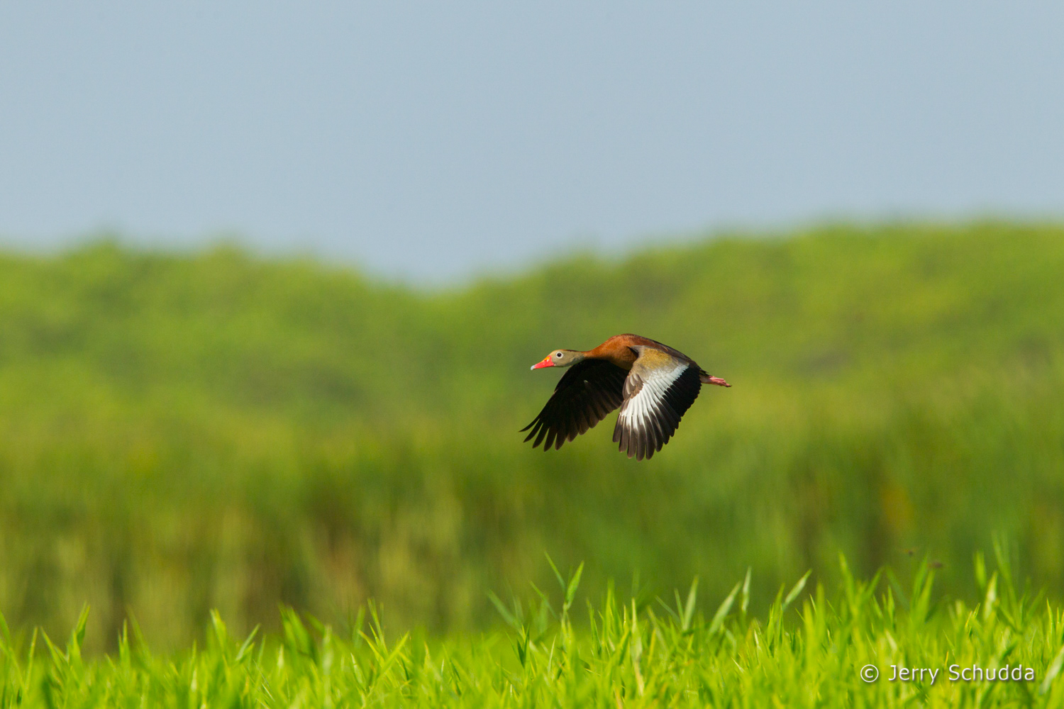 Black-bellied Whistling-Duck  3