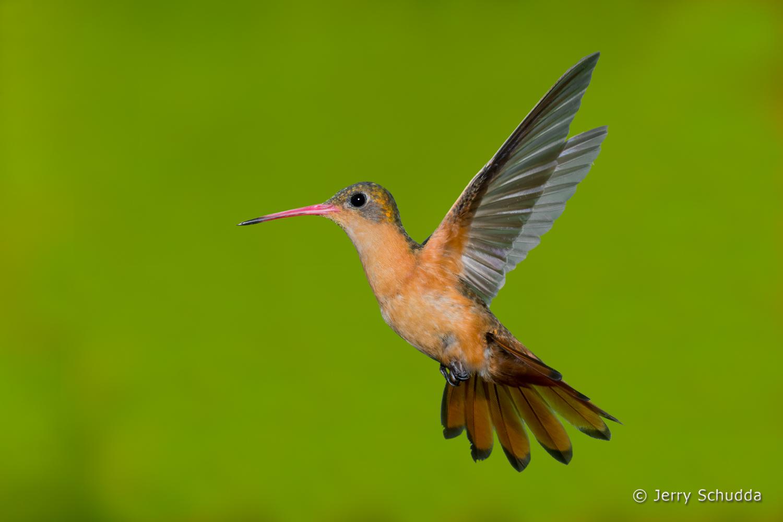 Cinnamon Hummingbird 8
