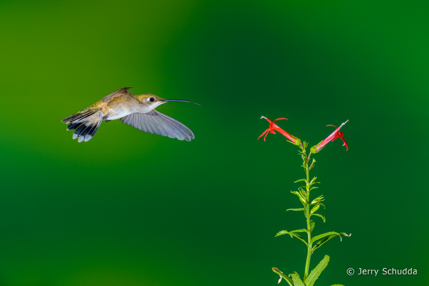 Black-chinned Hummingbird  10