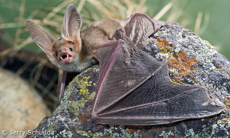 Pallid Bat