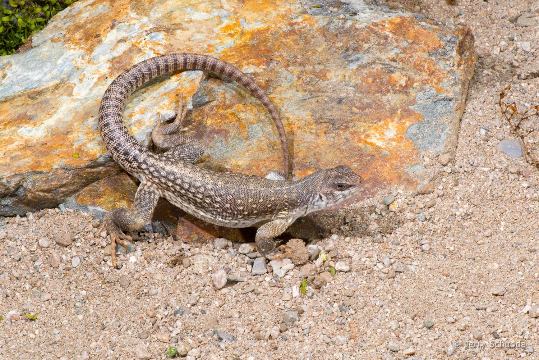 Desert Iguana 3
