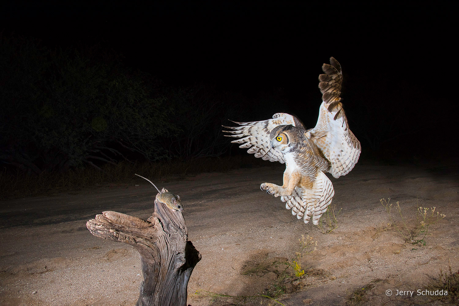 Great Horned Owl 22