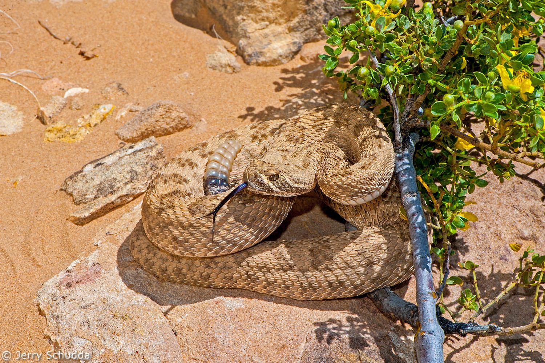 Prairie Rattlesnake 3