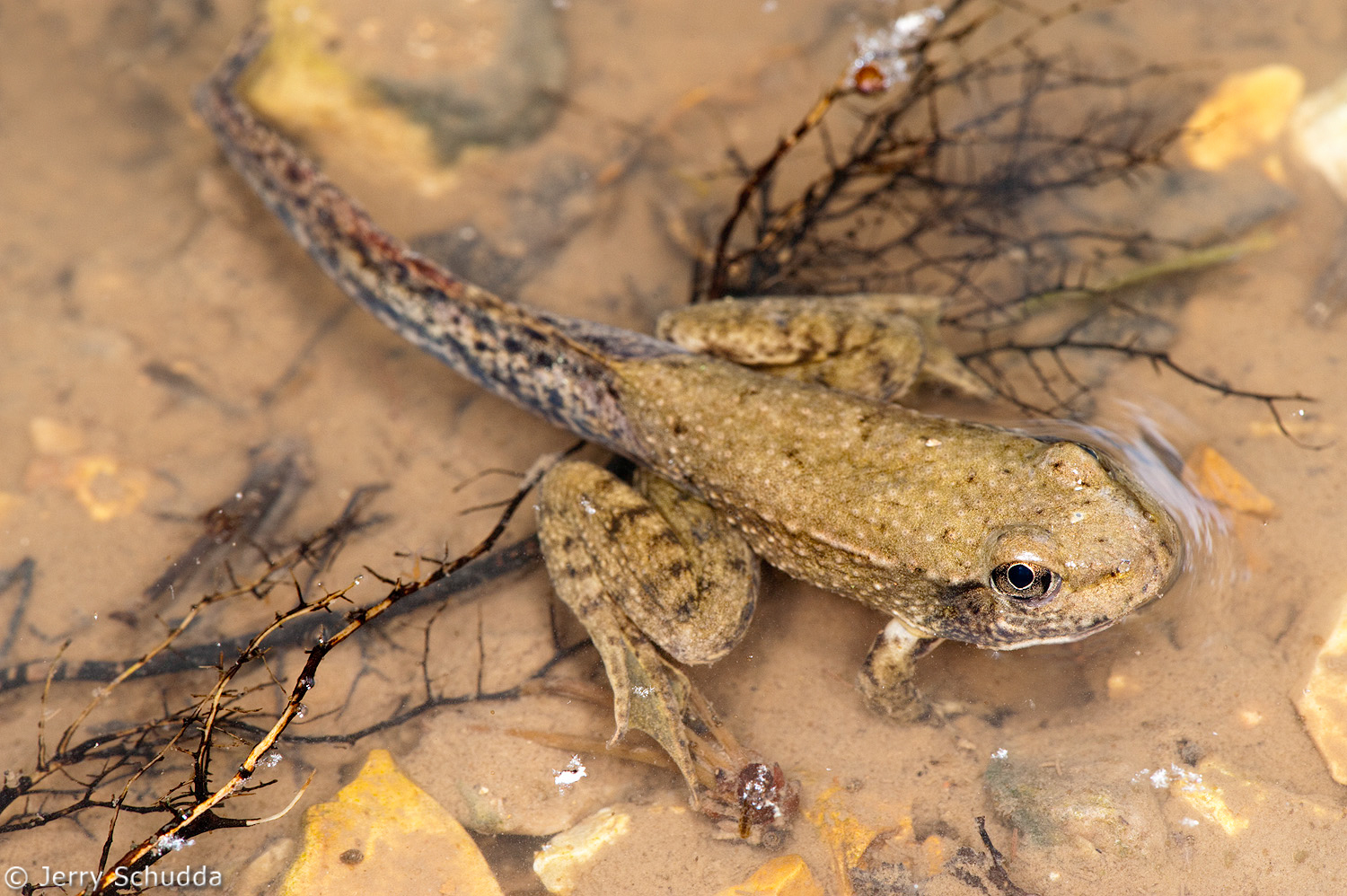 Southern Leopard Frog 2