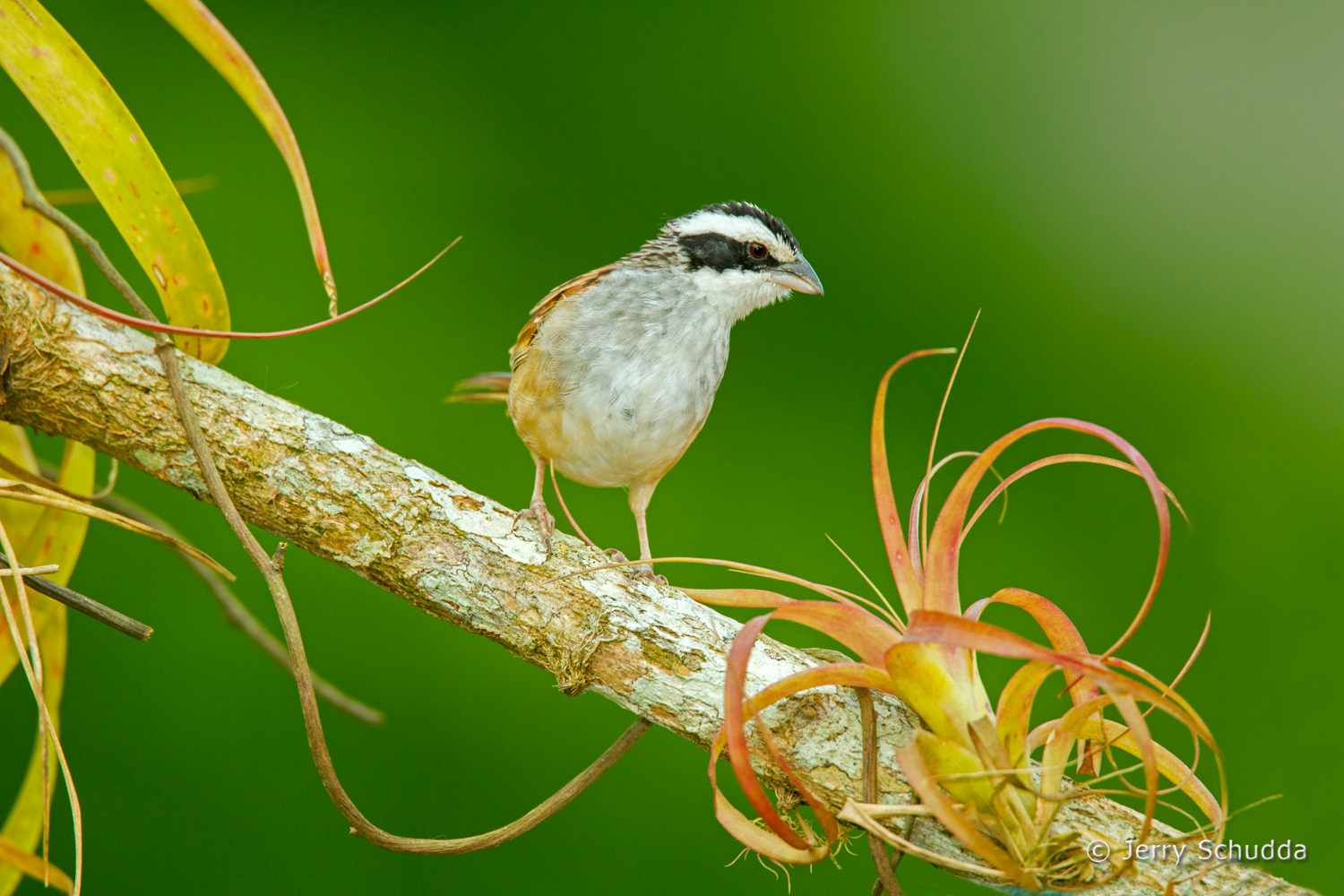 Stripe-headed Sparrow 4