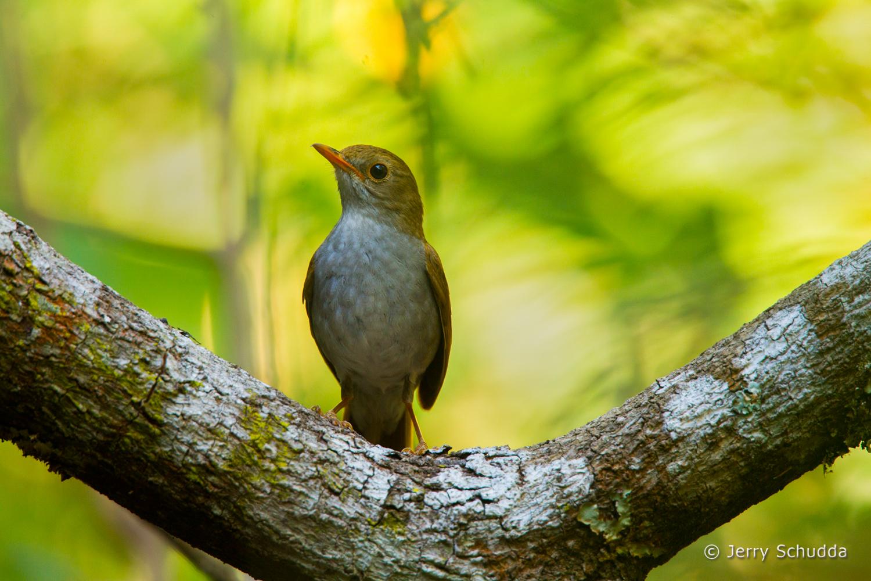 Orange-billed Nightingale-Thrush
