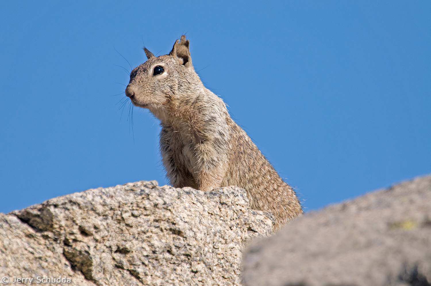 California Ground Squirrel 1