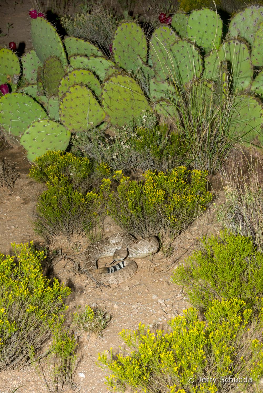 Western Diamondback Rattlesnake 19