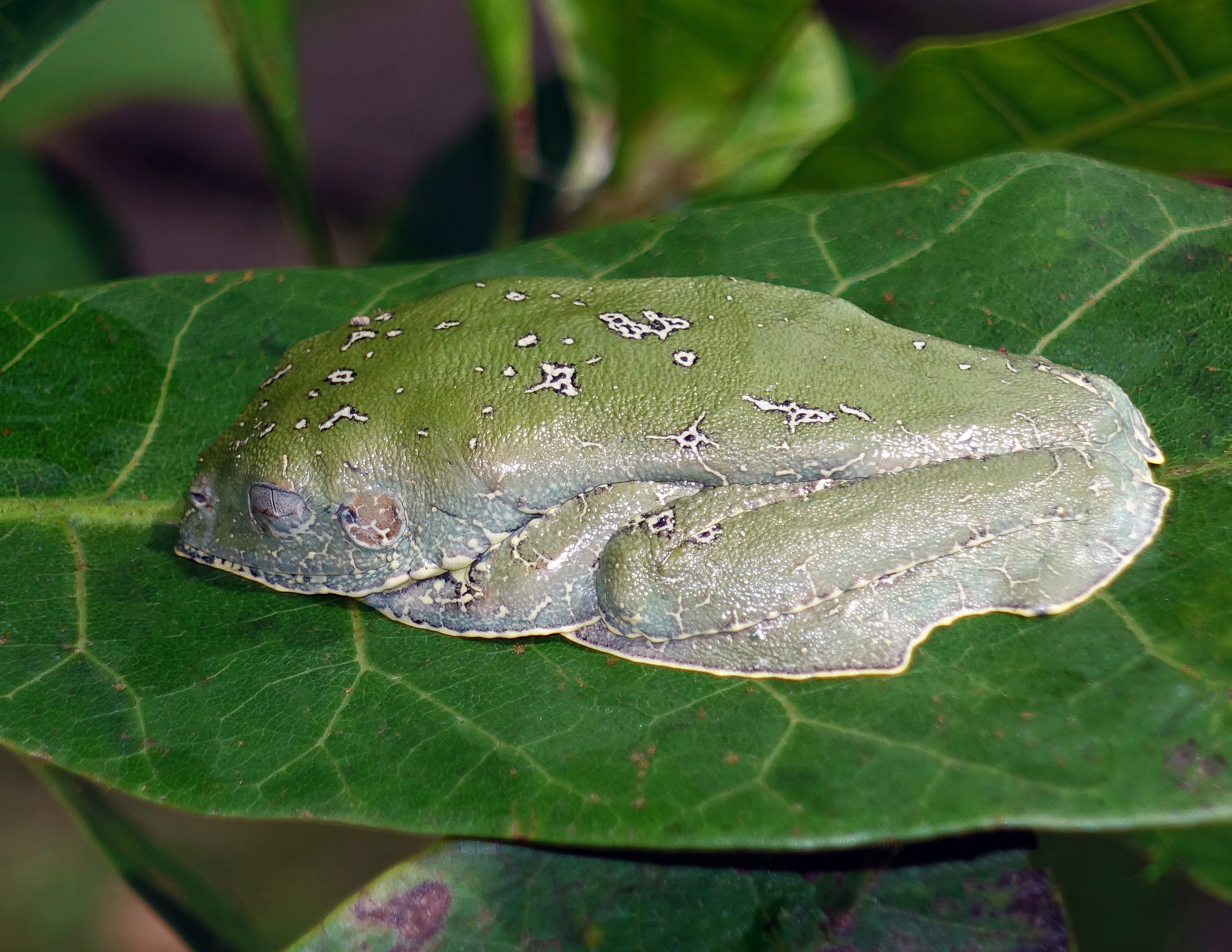Amazon Leaf Frogs
