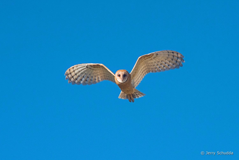 Barn Owl - juvenile 8