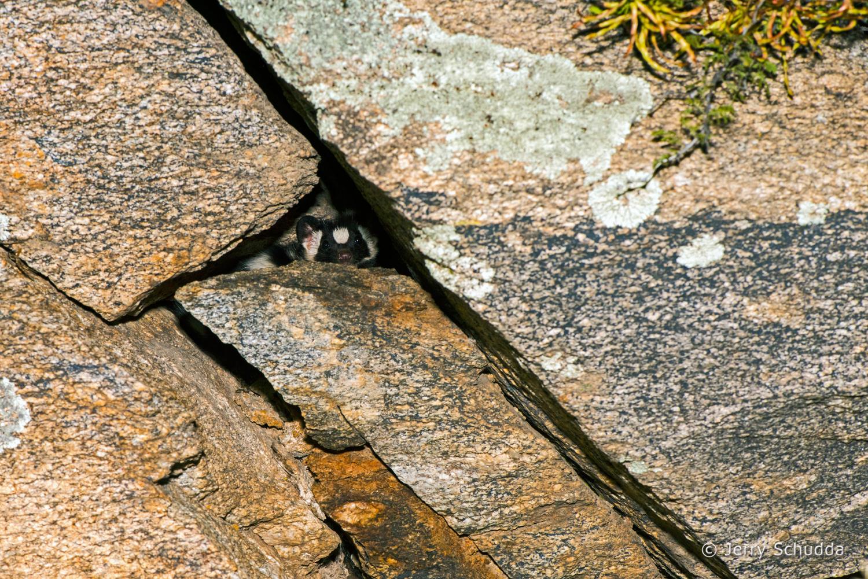 Western Spotted Skunk 4
