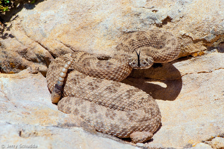 Prairie Rattlesnake 2