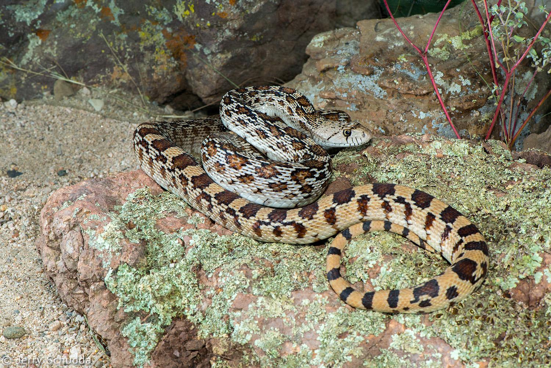 Gopher Snake 2