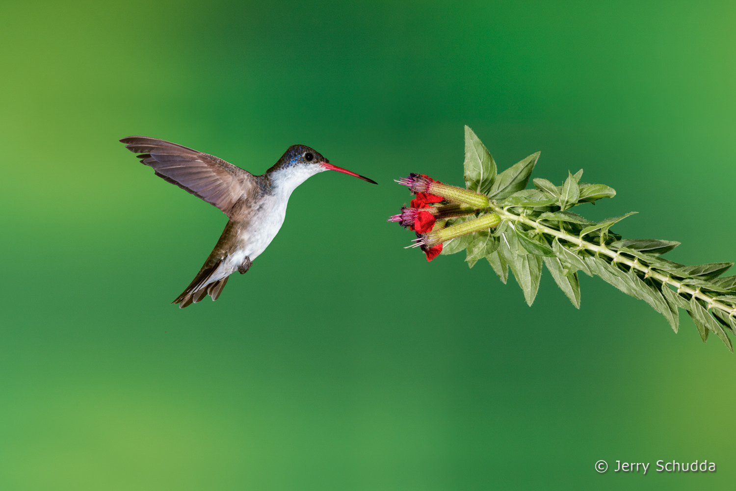 Violet-crowned Hummingbird  4