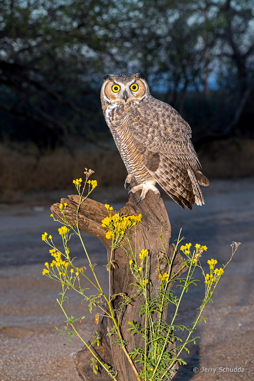 Great Horned Owl 23