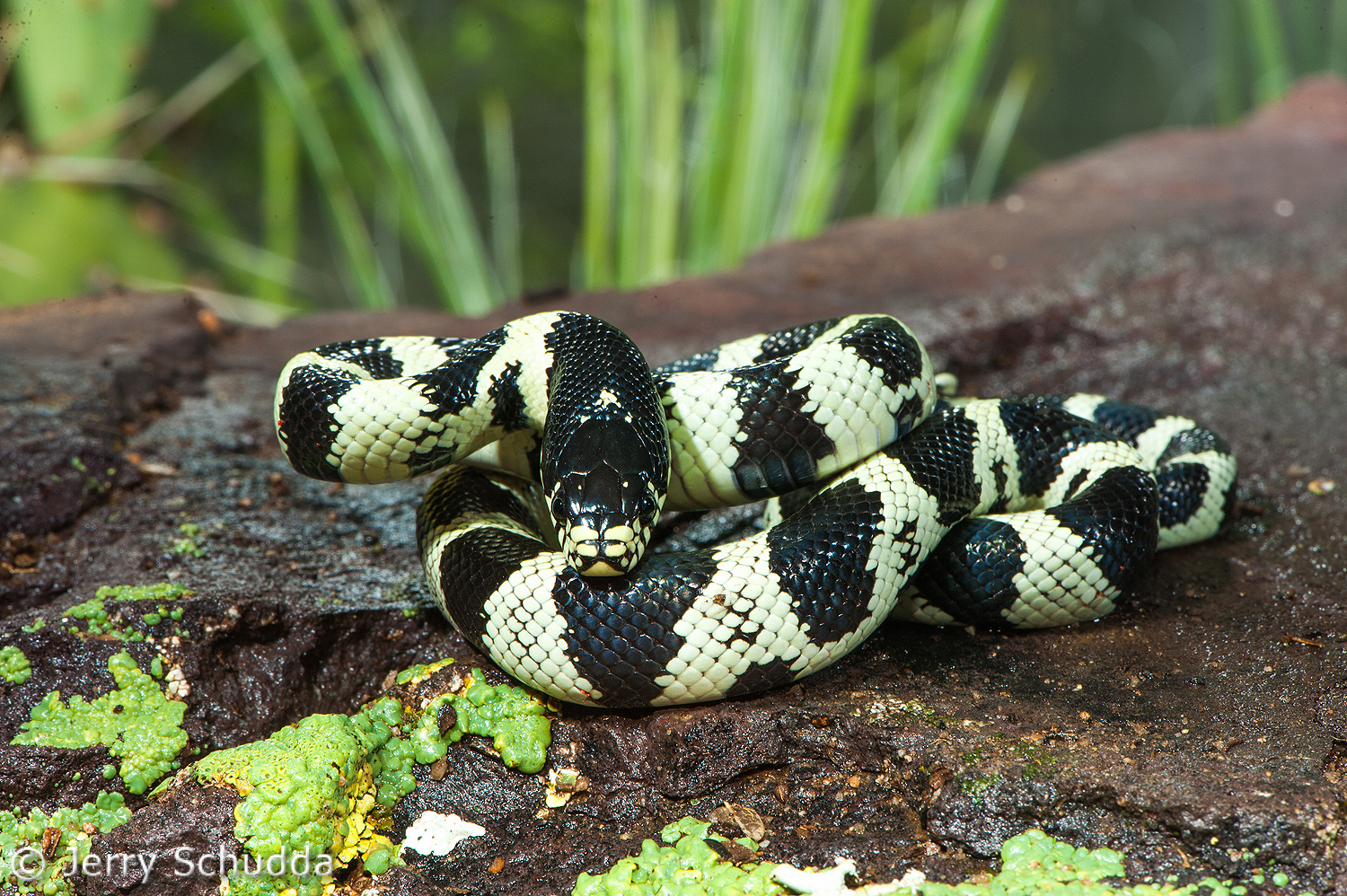 Common Kingsnake 9
