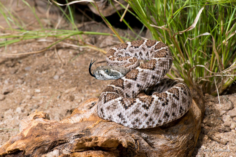 Western Diamondback Rattlesnake 5
