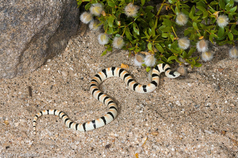 Western Shovel-nosed Snake