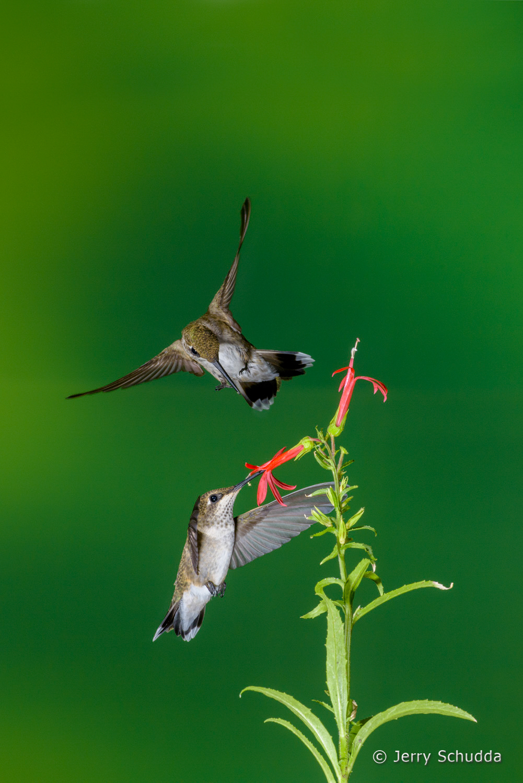 Black-chinned Hummingbird  5