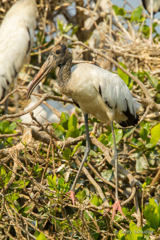 Wood Stork 10