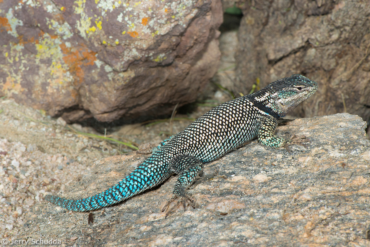 Mountain Spiny Lizard 1