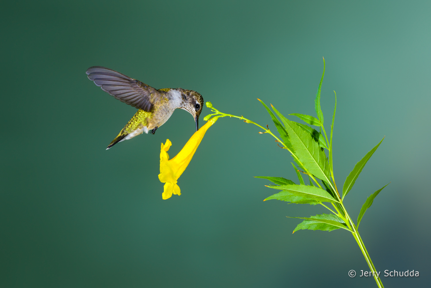 Black-chinned Hummingbird  12