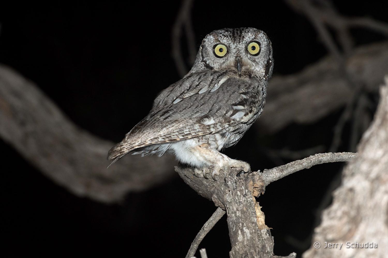 Western Screech Owl 7
