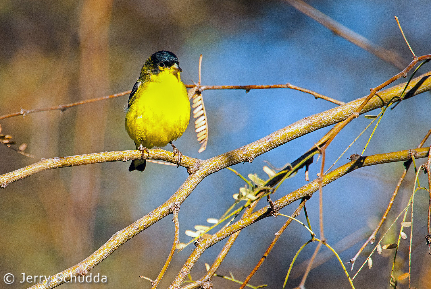 Lesser Goldfinch male 2