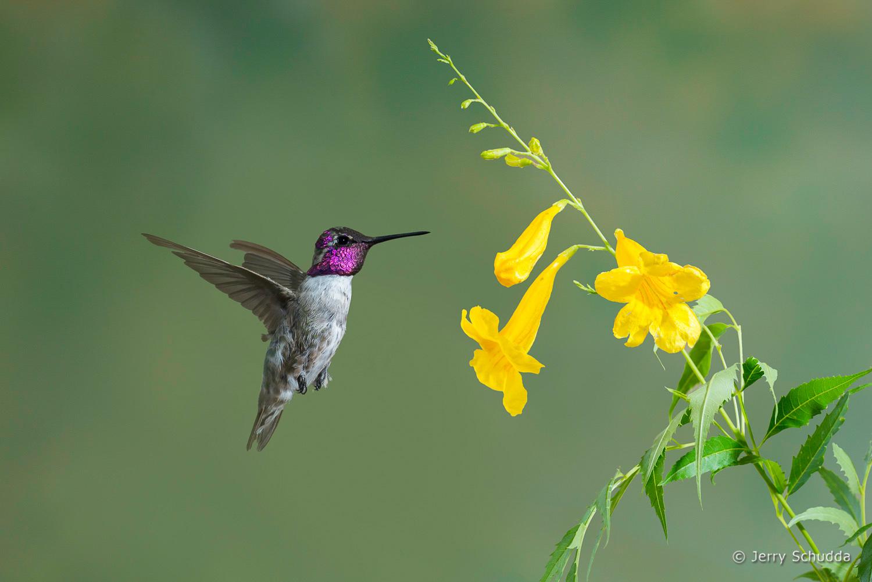 Costa's Hummingbird 2