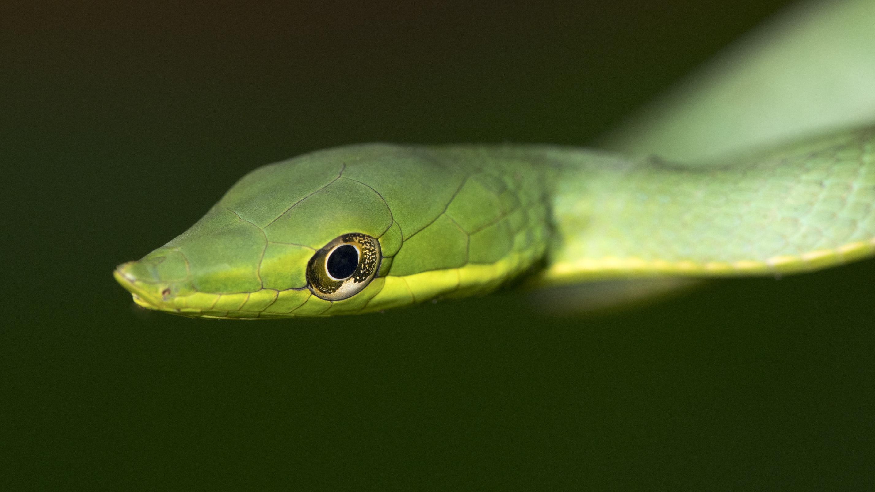 Green Vine Snake-Oxybelis fulgidus -Peru